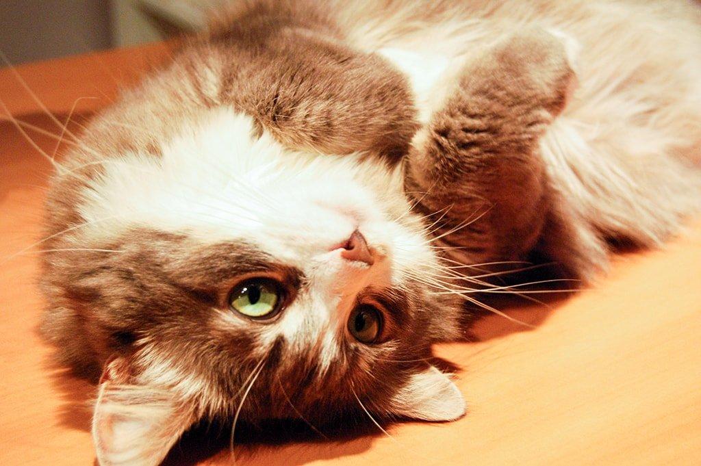 Кошка Апоша
