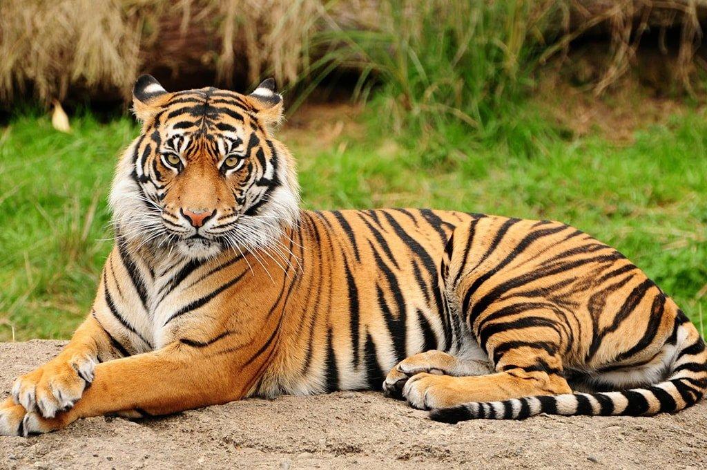 ВВС. Тигр Шпион джунглей
